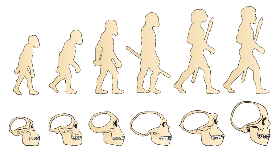 Evolution Of The Skull. Human Skull. Australopithecus. Homo Erectus. Neanderthalensis. Homo Sapiens. Vector Collection. Illustration On White Background. Darwin'S Theory. The History Of Mankind